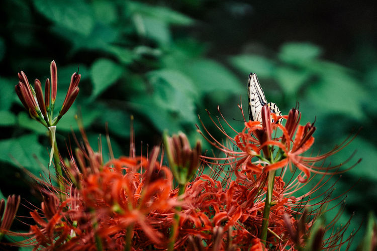 Butterfly pollinating on red flowers