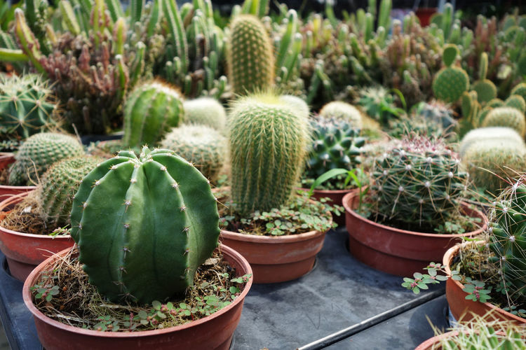 Close-up of cactus plants at greenhouse