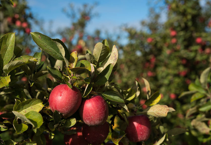 fresh red apples on a green tree close up | daylight photography Green Red Apple - Fruit Apples Blue Sky Close Up Close-up Focus On Foreground Food Freshness Fruit Green Color Healthy Eating Leaf Light And Shadow Nature No People Outdoors Plant Plant Part