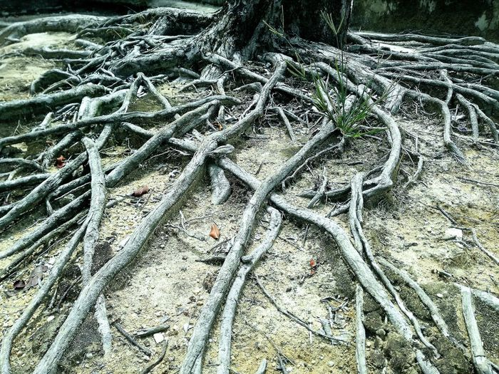 Nature Wonder Natureporn Root Dead Tree Wonderful Malaysia Truly Asia The 00 Mission