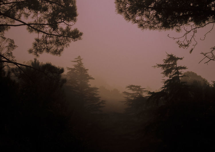 Tree Plant Beauty In Nature Tranquility Sky Nature Silhouette Forest Growth Fog Scenics - Nature Tranquil Scene Land No People Non-urban Scene Outdoors Branch Idyllic Environment Hazy  Coniferous Tree