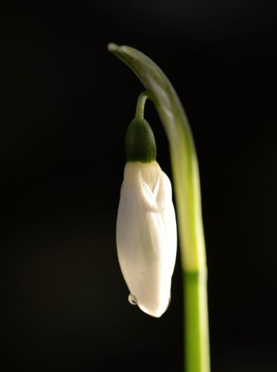 Snowdrop with single drop of rain Single Flower, Springtime, Stem Snowdrop Flower Close Up Freshness No People Close-up Black Background Outdoors Nature Fragility Growth