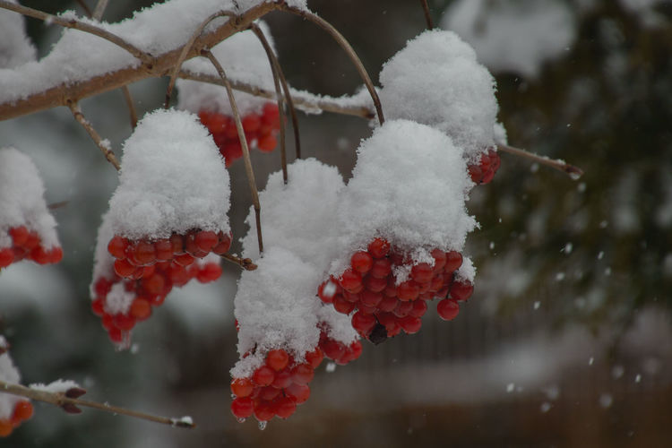 Red berries with snow hood Beauty In Nature Berries Berries Collection Close-up Cold Temperature Day Focus On Foreground Frost Frozen Growth Ice Nature No People Outdoors Plant Red Red Berries Red Color Shrub Snow Tree White Color Winter Winter Trees Wintertime