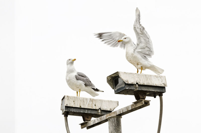 Cortejo entre gaviotas EyeEm Selects Bird Perching Spread Wings White Stork Stork Portrait Animal Themes