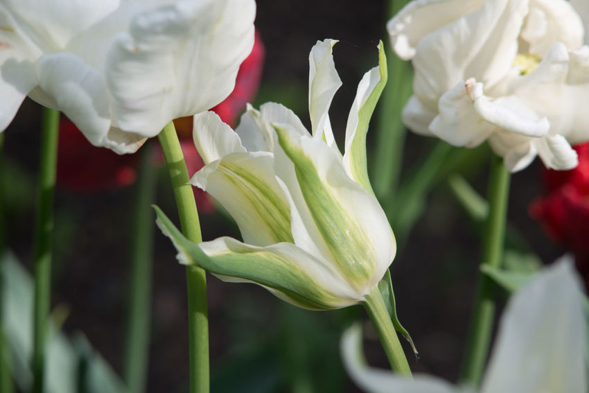 Abundance Of Flowers Beauty In Nature Blooming Close-up Contrast Day Flower Flower Head Fragility Freshness Growth Nature No People Outdoors Petal Plant Spring Springtime Tulip White White Color
