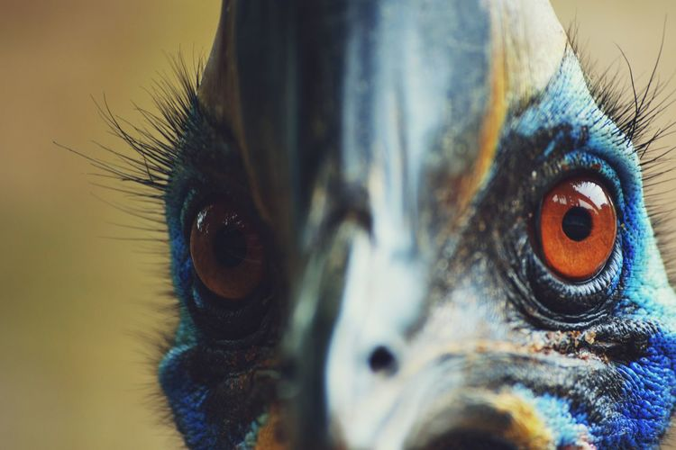 Close-up Bird Cassowary Cassowary Eye Cassowary Bird Cassowaries Peacock Feather Peacock Eyelash Eyeball Multi Colored Beauty Bird Portrait Feather  Blue Animal Markings Iris - Eye Eyelid Eyebrow Iris Eyesight