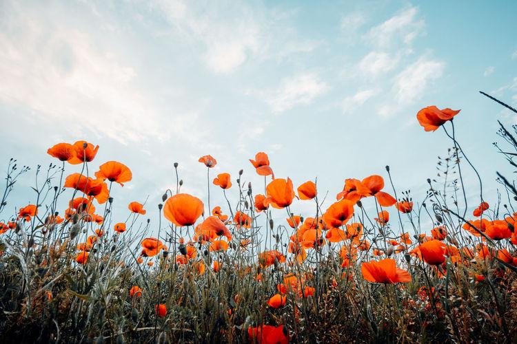 Poppies growing on field against sky