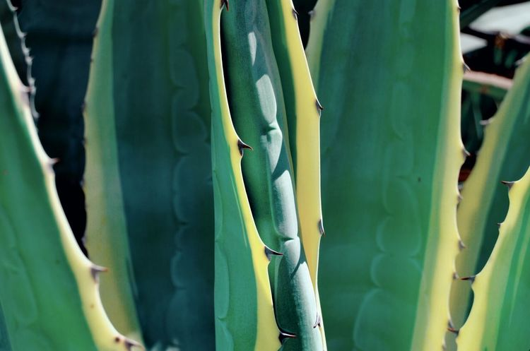 Cactus Cactus Plant Cactus Leaf Green Color Backgrounds Full Frame Cactus Close-up Plant Green Color Plant Life Botany