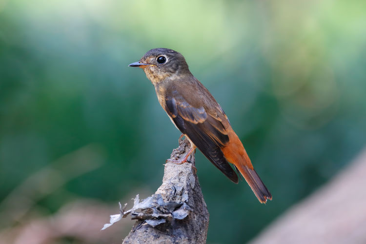 Ferruginous Flycatcher Muscicapa ferruginea Beautiful Birds of Thailand Animal Themes Bird Animal Wildlife Animal Vertebrate Animals In The Wild One Animal Perching Focus On Foreground Close-up No People Day Nature Tree Outdoors Plant Branch Selective Focus Robin Wood - Material