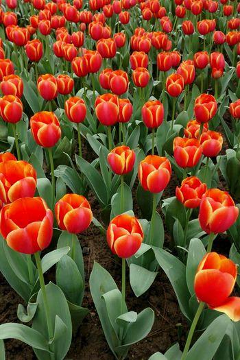 The tulips Tulips🌷