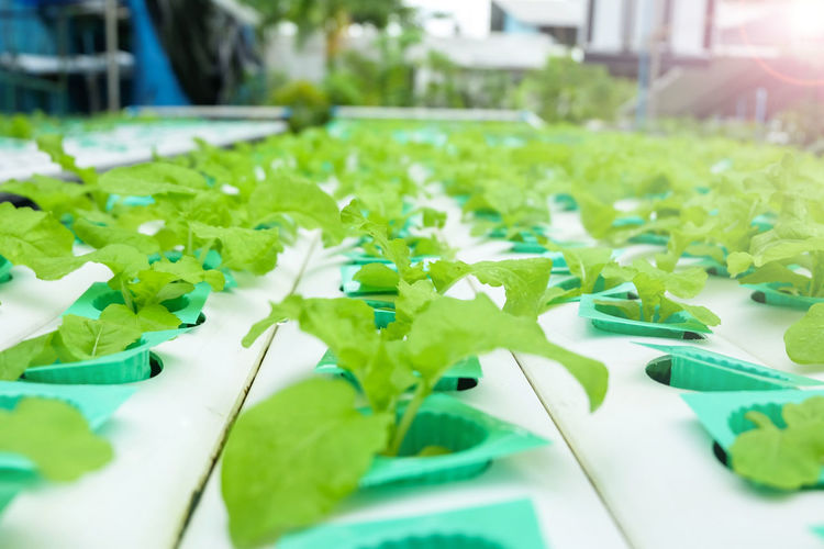 Hydroponic vegetable age 17-20 days plant with perlite move to vegetables rails Agriculture Freshness Green Growth Perlite Plant Aquaponic Close-up Freshness Green Color Growth Hydroponic Vegetables Hydroponics Hydroponicsystem Leaf No People Organic Plant Salad Vegetable Water