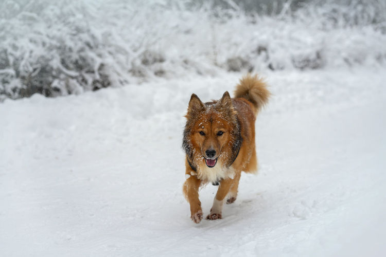 Dog walk in a winter park with snow, natural winter background Purebred Dog Covering Outdoors No People Land Nature White Color Vertebrate Animal Domestic Animals Snow Cold Temperature Canine Pets Winter One Animal Dog Domestic Mammal Field Walking Leasure Activity White