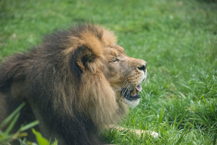 Animal Animal Head  Animal Themes Animal Wildlife Cat Feline Field Grass Land Lion - Feline Looking Male Animal Mammal Mouth Open Nature No People One Animal Outdoors Plant Resting Safari Vertebrate