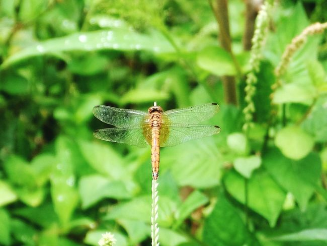 #Dragonfly Animals In The Wild Butterfly - Insect Focus On Foreground Animal Themes Perching Outdoors No People One Animal Full Length Freshness Animal Wildlife Damselfly Close-up Insect Spread Wings Nature Day Leaf EyeEmNewHere Go Higher