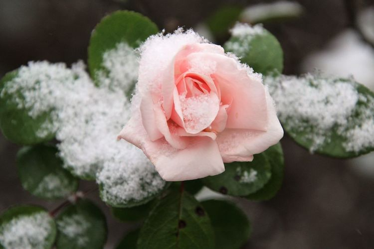 Flower Beauty In Nature Flowering Plant Rosé Fragility Nature Pink Color Outdoors Snow Winter Garden