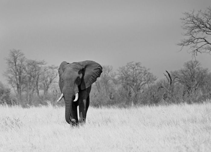 African elephant on grassy field at hwange national park