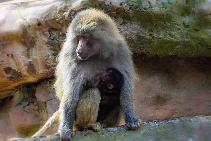 Baby Baboon. Paigntonzoo Monkey Animals In The Wild Animal Wildlife Mammal Baboon Animal One Animal No People Outdoors Day Animal Themes Japanese Macaque Nature Sitting Close-up Hot Spring Paignton Devon EyeEmNewHere