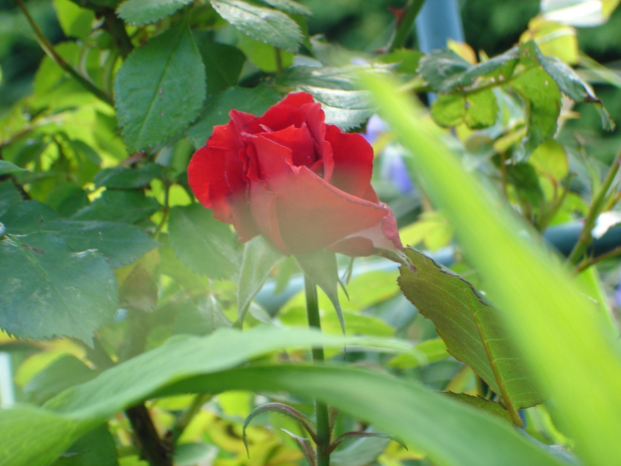 Red Rose Blooming In Lawn