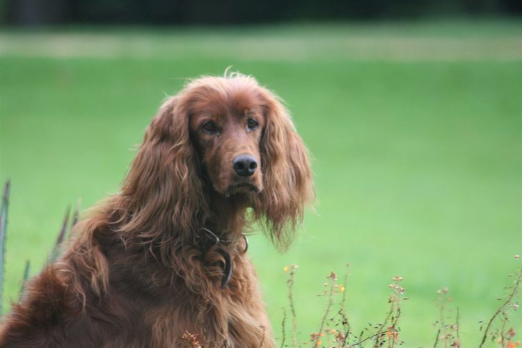 Animal Themes Close-up Day Dog Domestic Animals Field Grass Irish Setter Mammal Nature No People One Animal Outdoors Pets Portrait