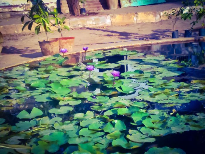 Leaf Pond Plant Floating On Water Beauty In Nature Lotus Water Lily Lotus Pond Lotus Flower Water Lily Nature Growth Water Lily Pad Day Flower Flower Pond Lotusflower Lotus Garden Lotus Pond Lotus Collection Lotus Lake Lotus Lotus Blossom Pond Flower Collection