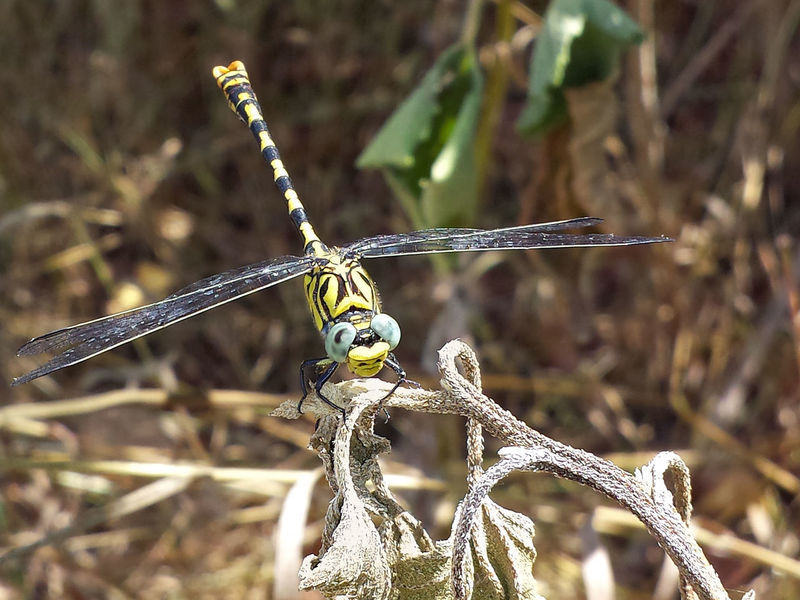 Onychogomphus Forcipatus - Serchio River Anisoptera Arthropoda Beauty In Nature Close-up Dragonfly Nature Insects Dragonfly Series Dragonfly💛 Hexapoda Insect Insecta Nature Odonata Outdoors
