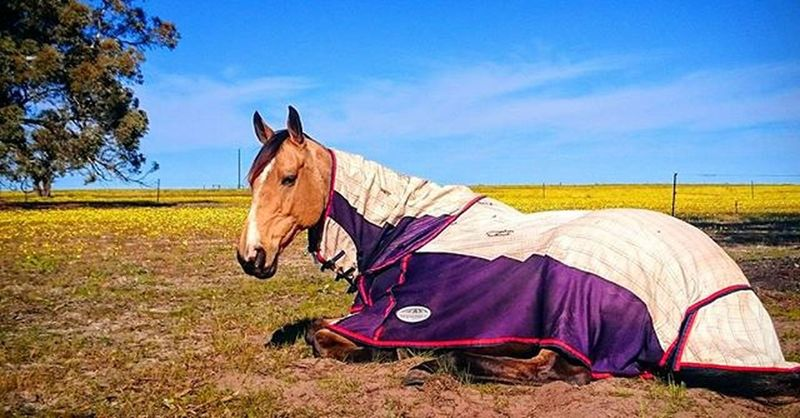 Don't know who's going to be more excited about summer holidays, me or the horses! Summer Flowers Buckskin Horses Holidays Australia Throwback