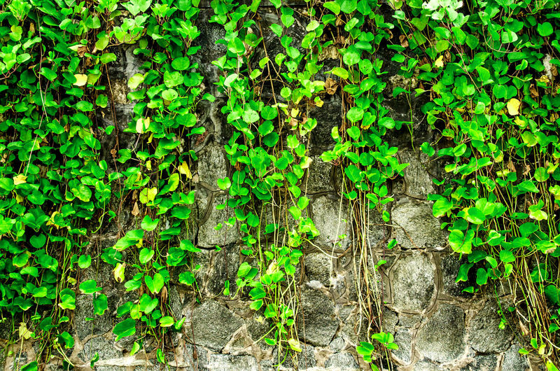 The wall from brick and brick background with grass on below, red brick and grass on below and pattern of brick wall background, old brick wall texture with grass on below Brick Wall Grass Wall Backgrounds Brick Close-up Creeper Plant Day Full Frame Grass Wall Green Color Growth Ivy Leaf Nature No People Outdoors Pattern Plant Textured  Tree Tree Trunk Wall Grass Wall Green
