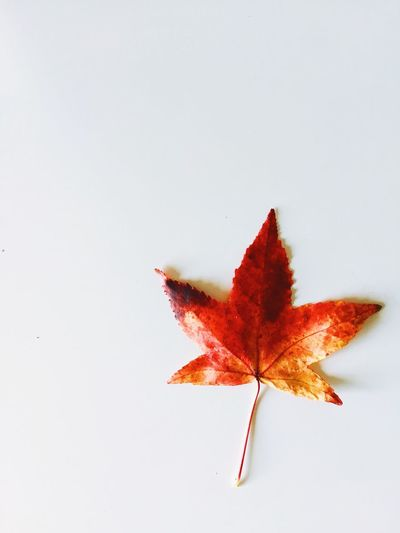 Close-up of maple leaves on white background