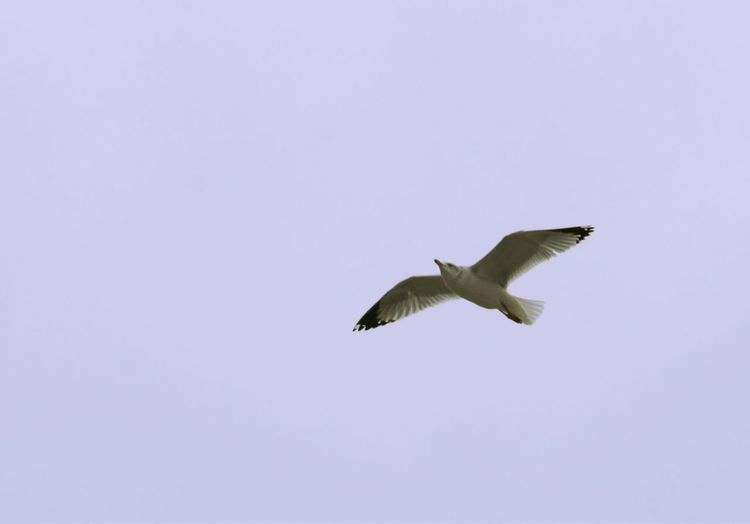 Gull flying Flying Animals In The Wild Animal Wildlife Animal Themes Vertebrate Animal Spread Wings Bird One Animal Mid-air Low Angle View No People Sky Motion Clear Sky Nature Beauty In Nature Copy Space Outdoors Day Seagull Gull Gulls Birds