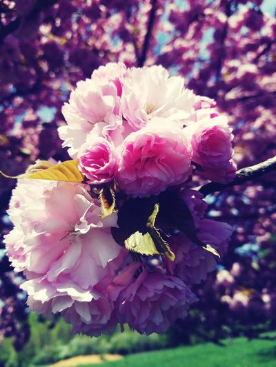 Flower Beauty In Nature Petal Pink Color Flower Head No People Fragility Close-up Nature Springtime Blossom Day Outdoors Freshness Growth Plant Tree Pink Softball Sunday