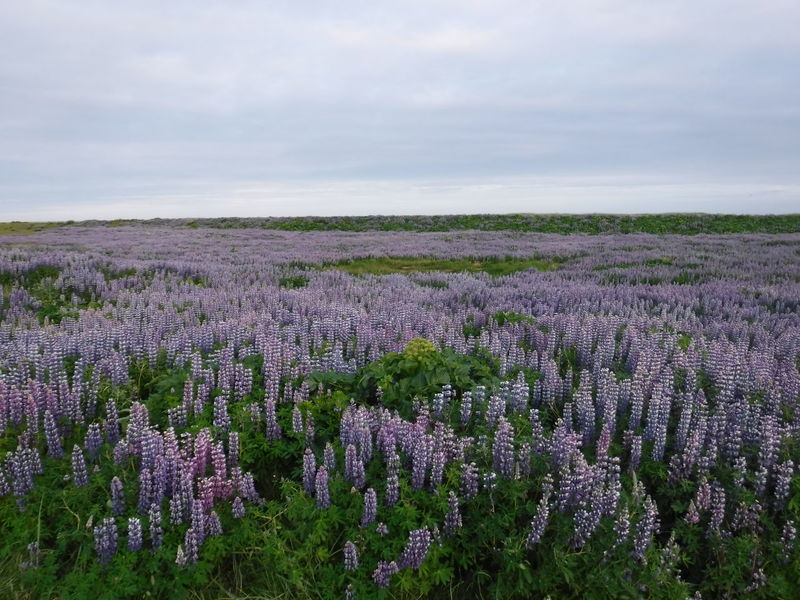 Lupins growing in Vik Southern Iceland Beauty In Nature Blossom Day Field Flower Flower Head Freshness Growth Landscape Lavender Lavender Colored Nature No People Outdoors Plant Purple Rural Scene Scenics Sky Tranquil Scene Vik Iceland