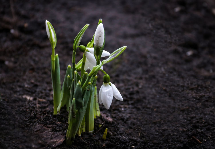 spring came Beauty In Nature Close-up Day First Flowers First Flowers Of Spring Fragility Freshness Green Color Growth Leaf Nature New Life No People Outdoors Plant Snowdrops Spring Spring Flowers Springtime