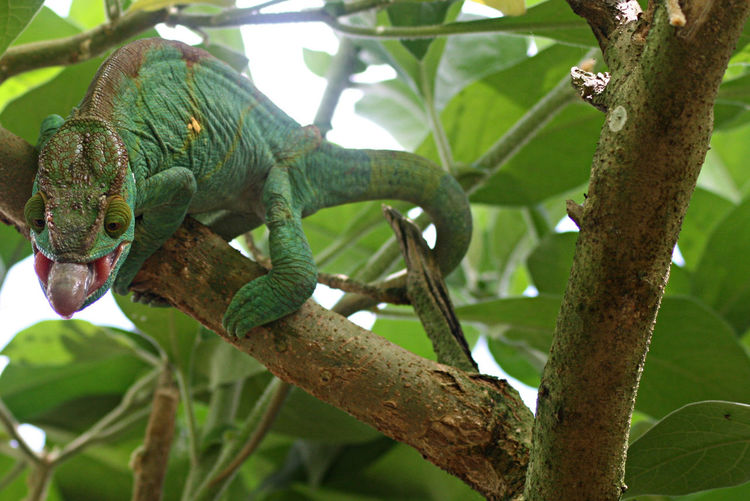 Chameleon in Madagascar sticking its tongue out to catch an insect Beginnings Botany Chameleon Chameleon Spirit Color Change Green Growth Madagascar  New Life Ripe Tongue Tongue Out Wildlife Wildlife Photography