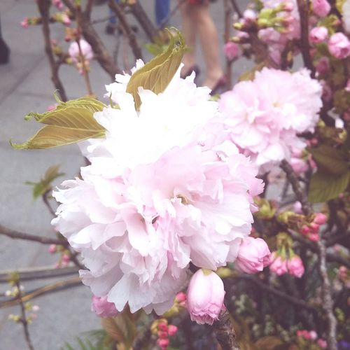 Hoa anh đào 🌸 Sakuraflowers Flower Head Flower Tree Branch Pink Color Springtime Blossom Petal Close-up Plant