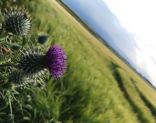 Thistle covered