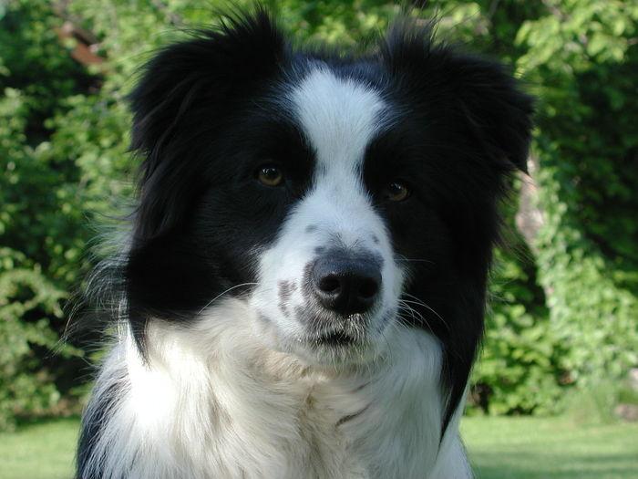 Beatiful Dog Border Collie My Dog