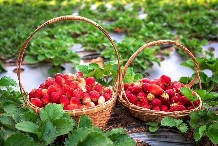 Fruit Strawberry Freshness Red