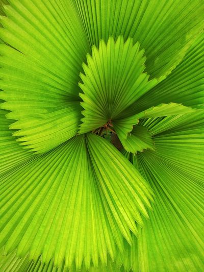 The Same Plant The Palas Palm Distinguished Sight From Above..