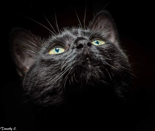 Mr. Sage Nikon D7000 Nikon Tokina AT-X Pro Macro 100 F2.8 D Studio Shot Godoxad200 Studio Lighting Black Background Pets Portrait Domestic Cat Feline Looking At Camera Whisker Black Color Animal Hair