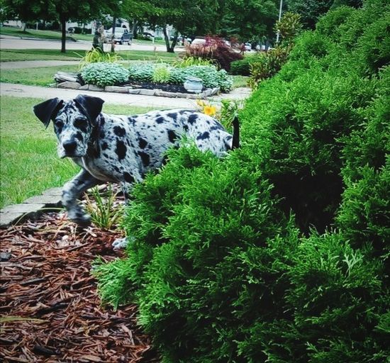 Domestic Animals Animal Themes Pets Dog Green Color Outdoors Nature Outside Playing Puppy Merle Greatdane NewToEyeEm Mammal Cute Animals Dogoftheday Doggy Animals One Animal Dogs EyeEm Nature Lover EyeEm Best Shots Beatiful Bright Outdoor Photography The Great Outdoors - 2017 EyeEm Awards
