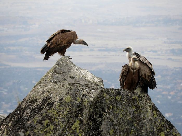 Vultures perching on rocks
