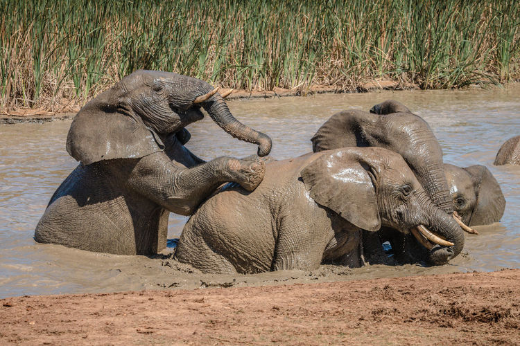 View of elephant in shallow water