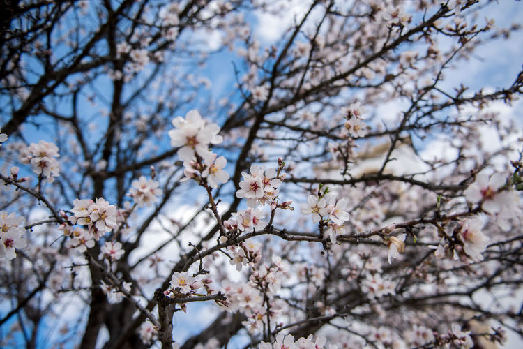 Flowering Plant Plant Flower Freshness Fragility Tree Blossom Cherry Blossom Growth Branch Nature Springtime Cherry Tree No People Outdoors Almond Tree Almond Blossom Blooming Beauty In Nature Vulnerability  Low Angle View Day White Color Focus On Foreground Flower Head Plum Blossom Pollen Spring