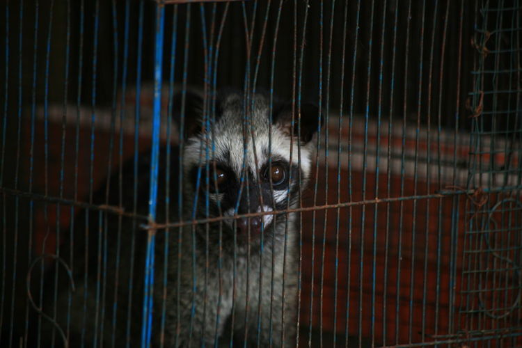 Pandan Civet in a cage Animal Eye Cage Domestic Animals Looking At Camera Mammal No People One Animal Pets Portrait