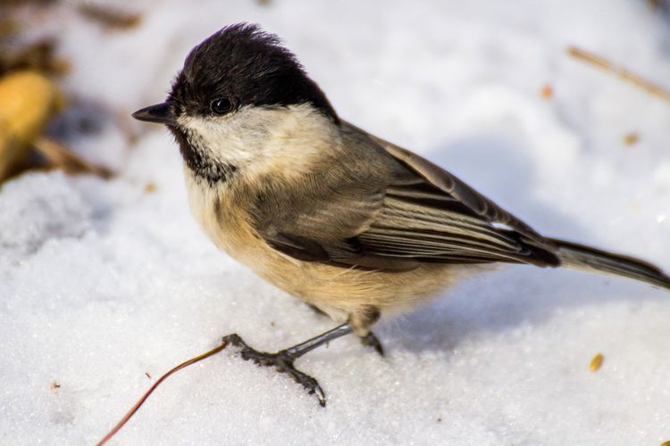 Close-up of marsh tit on snow