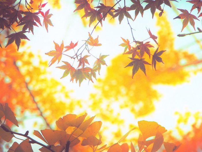 モミジとイチョウ🍁 Leaf Autumn Maple Leaf Change Tree Nature Maple Tree No People Maple Close-up Branch Growth Beauty In Nature Outdoors Day Sky Maple And Gingko Leaves