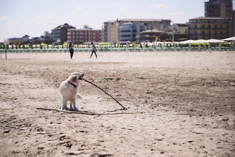 Animal Mammal Animal Themes One Animal Pets Domestic Domestic Animals Vertebrate Canine Dog Nature Sand Land Day Incidental People Built Structure Focus On Foreground Real People Full Length Architecture Beach Beach Photography Beach Life Branch Playing Dogs Playing Dog Selective Focus