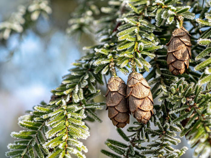 Close-up of pine cone on tree during winter