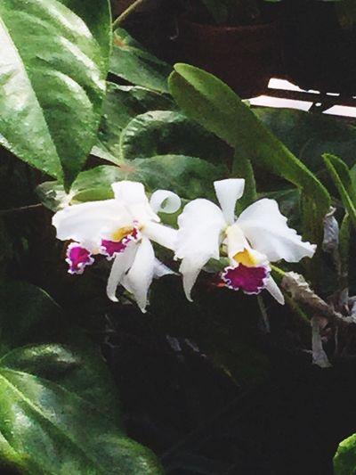 Check This Out Flowers,Plants & Garden Orchids Cattleya Flowerporn Orchidporn