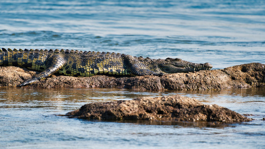 View of crocodile on rock by river